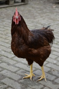 Rhode Island red Cockerel